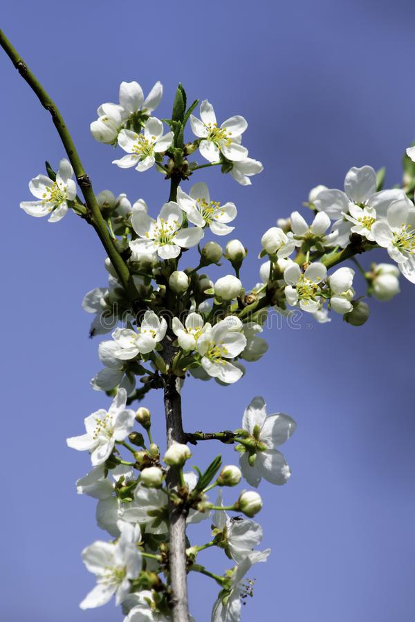 Cherry plum blossoms blooming in a spring garden against the backdrop of a bright blue sky, background, backdrop stock images