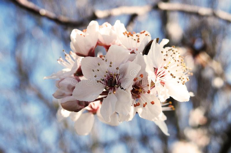 Cherry Plum Blossoms in Springtime royalty free stock photo