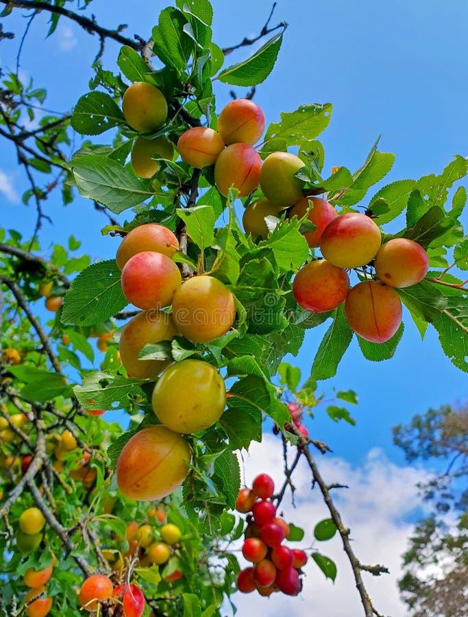 Cherry plum on a branch stock image