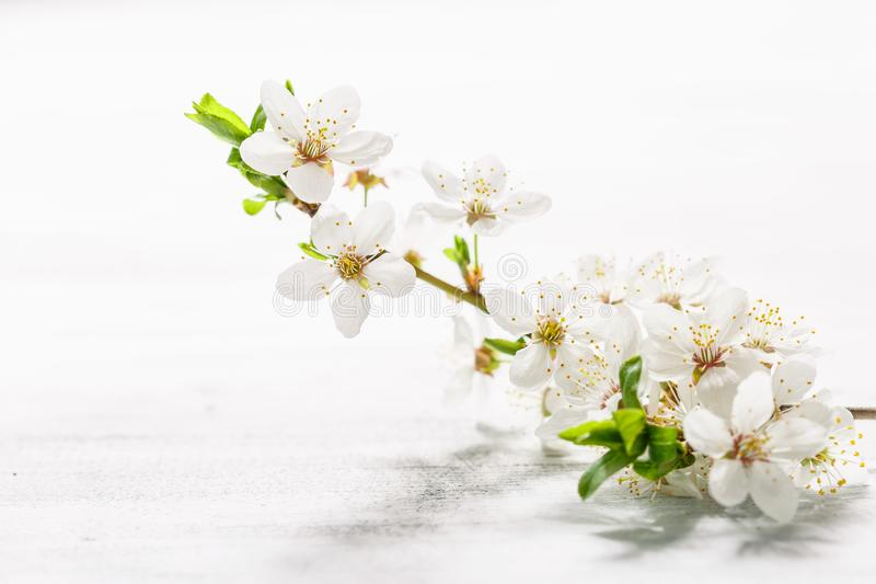 Cherry plum branch in blossom on white. Background royalty free stock images