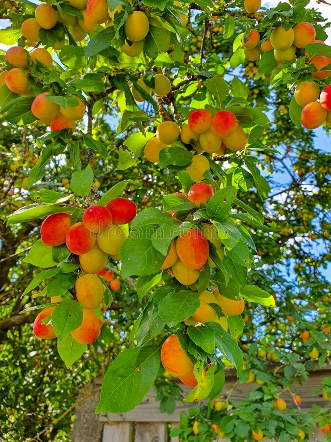 Cherry plum on a branch royalty free stock image