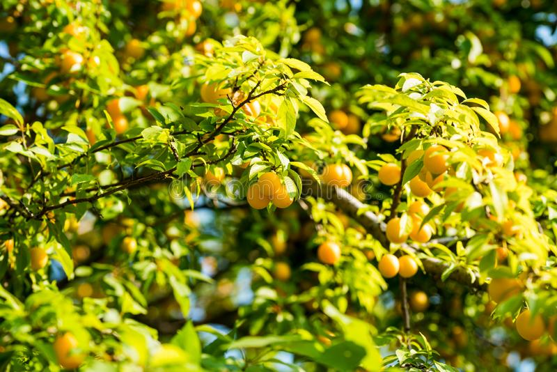 Cherry plum on the tree. Cherry plum on the branches of a tree in the summer on a sunny day royalty free stock photo