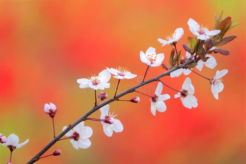Cherry Plum. The close-up of flowers of Cherry Plum stock images