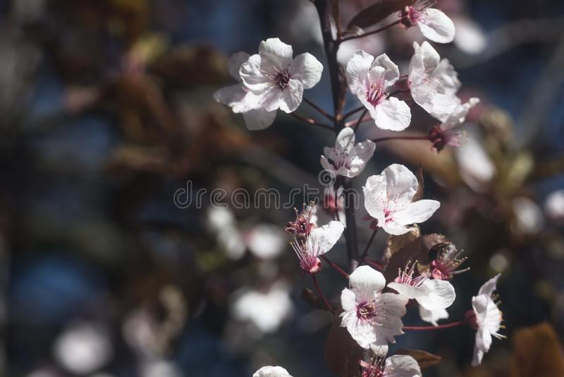 Cherry plum flowers. Cherry plum in spring. Prunus cerasifera is a species of plum known by the common names cherry plum. It is one of the first European trees royalty free stock photos