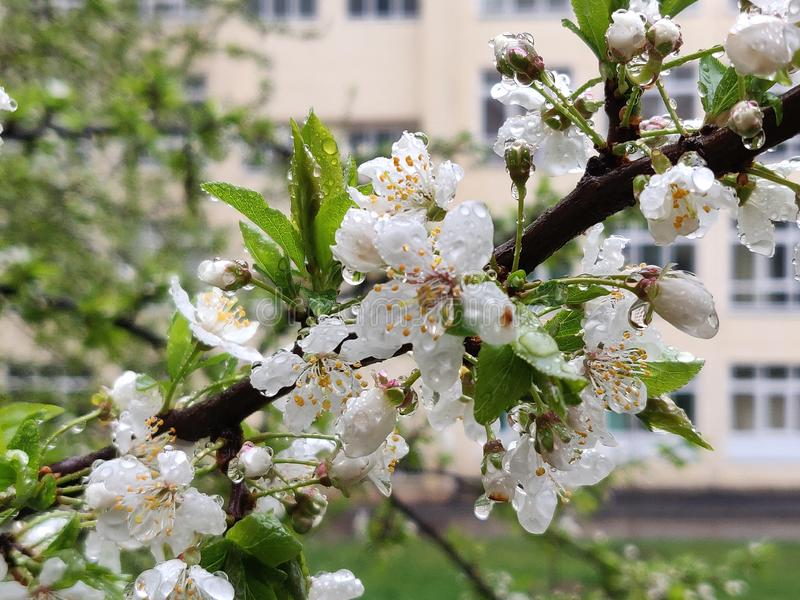 Cherry plum flowers. White cherry plum flowers blossom in springtime stock images