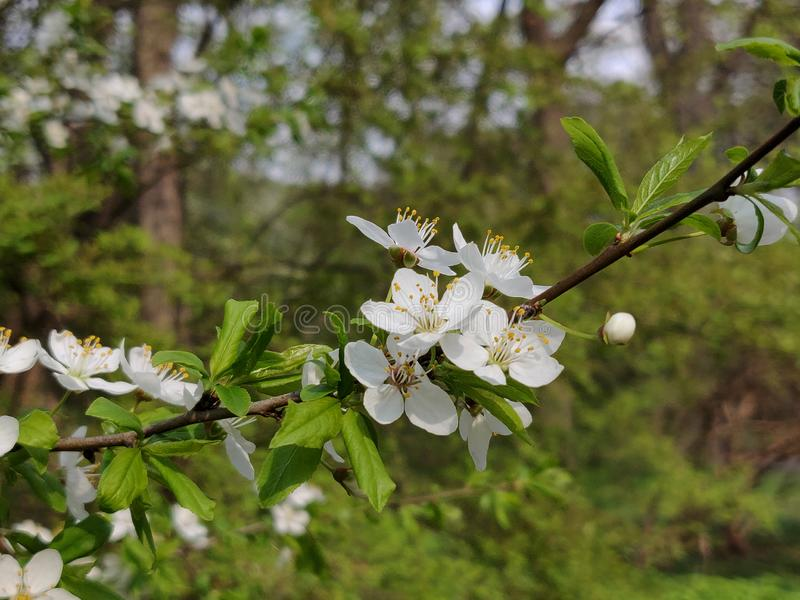 Cherry plum flowers. White cherry plum flowers blossom in springtime royalty free stock photography