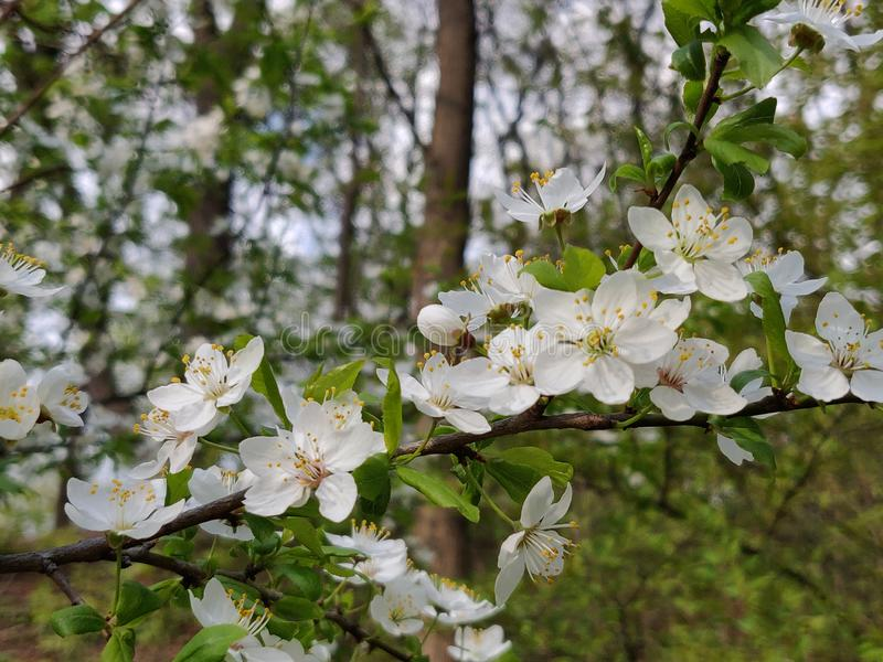 Cherry plum flowers. White cherry plum flowers blossom in springtime stock photography