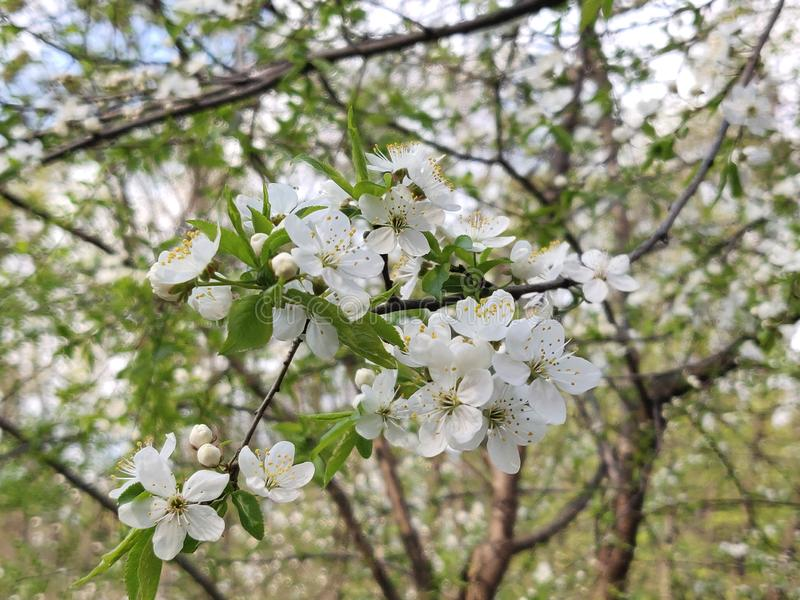 Cherry plum flowers. White cherry plum flowers blossom in springtime royalty free stock photos