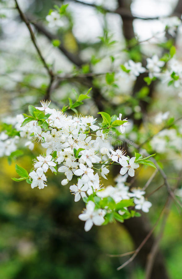 Cherry plum. Prunus cerasifera in blossom royalty free stock images