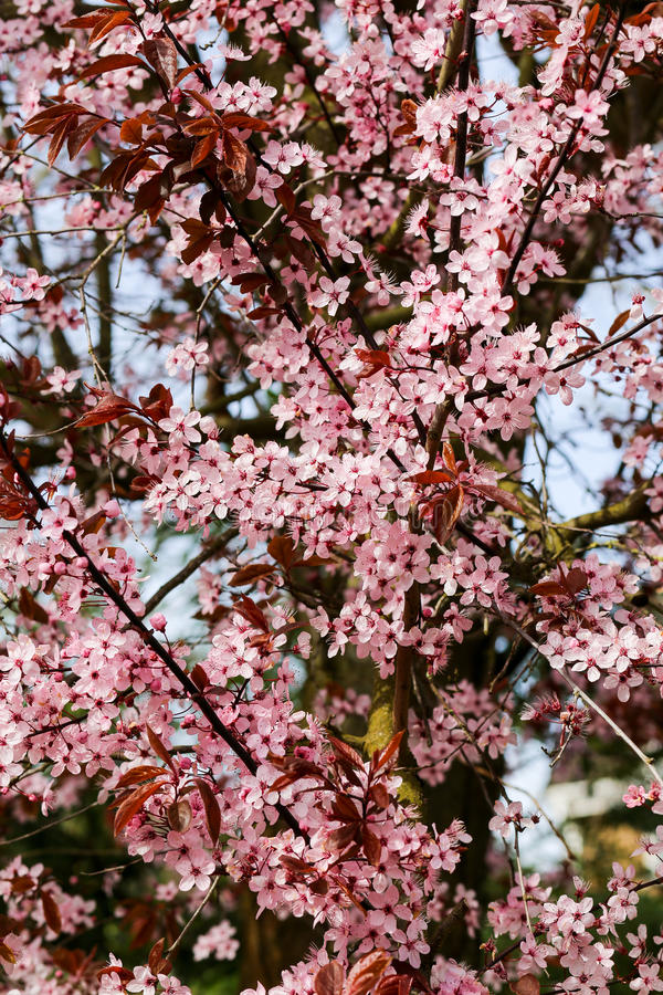 Cherry Plum Prunus cerasifera Nigra, blossom flowering stock image
