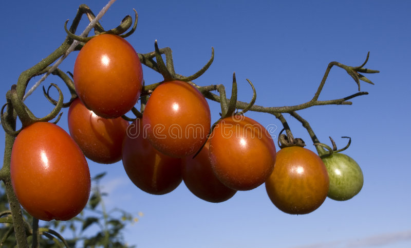 Download Cherry Plum Tomato stock image. Image of agriculture, alone - 7997425