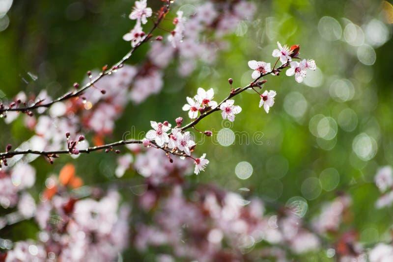 Cherry plum tree bloom. Branch of a purple leaf plum tree Prunus cerasifera. Flowers stock photos