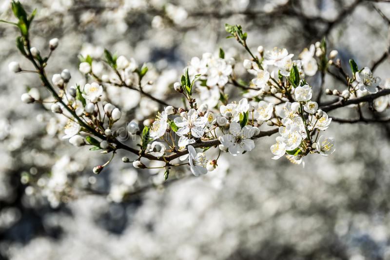 Cherry plum tree blossom closeup. Cherry-plum tree branch with white blossom. Lots flowers and closed buds with green leaves. Blurred background of branches stock photography