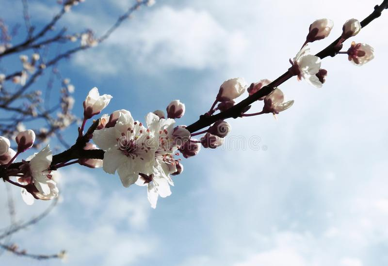 Cherry Plum Tree Blossom in Spring royalty free stock image