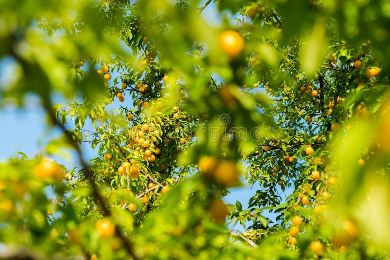 Cherry plum on the tree. Cherry plum on the branches of a tree in the summer on a sunny day royalty free stock image
