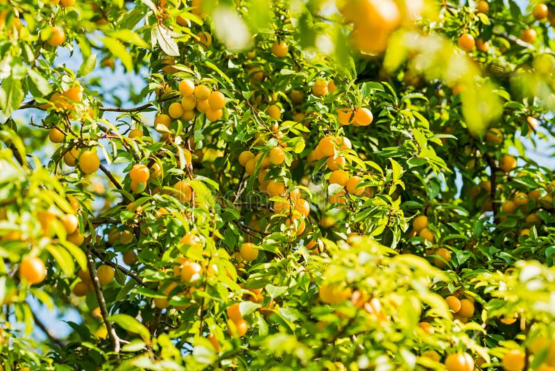 Cherry plum on the tree. Ripe yellow cherry plum on a tree in the summer on a sunny day royalty free stock image