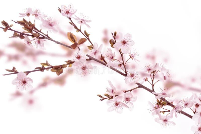 Cherry plum twig royalty free stock photography