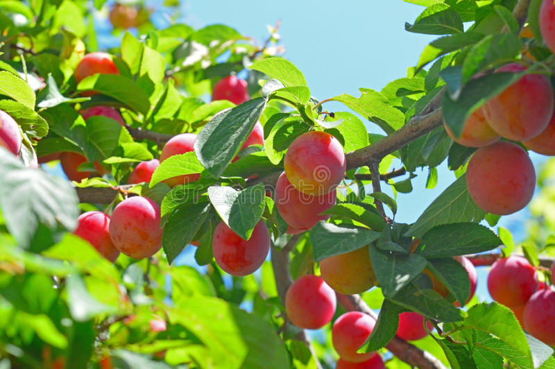 Cherry-plums on the plum tree. Delicious cherry-plums on the plum tree royalty free stock images