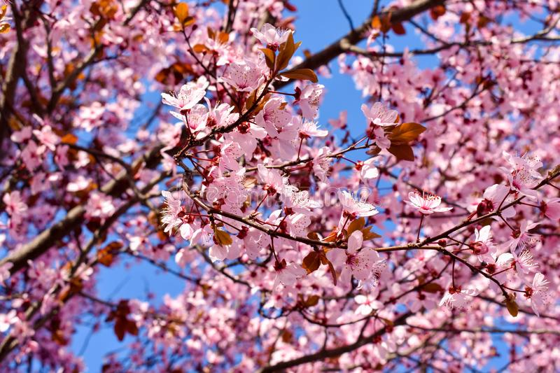 Cherry, Prunus cerasus blossom with pink flowers and some red leaves, Prunus Cerasifera Pissardii tree on a blue sky background in royalty free stock photo