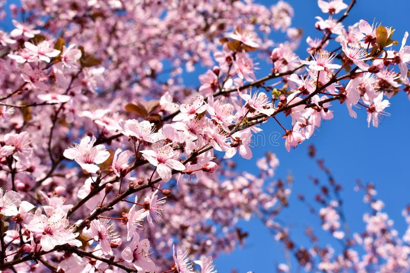 Cherry, Prunus cerasus blossom with pink flowers and some red leaves, Prunus Cerasifera Pissardii tree on a blue sky background in stock photography