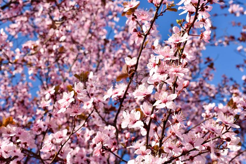 Cherry, Prunus cerasus blossom with pink flowers and some red leaves, Prunus Cerasifera Pissardii tree on a blue sky background in royalty free stock images