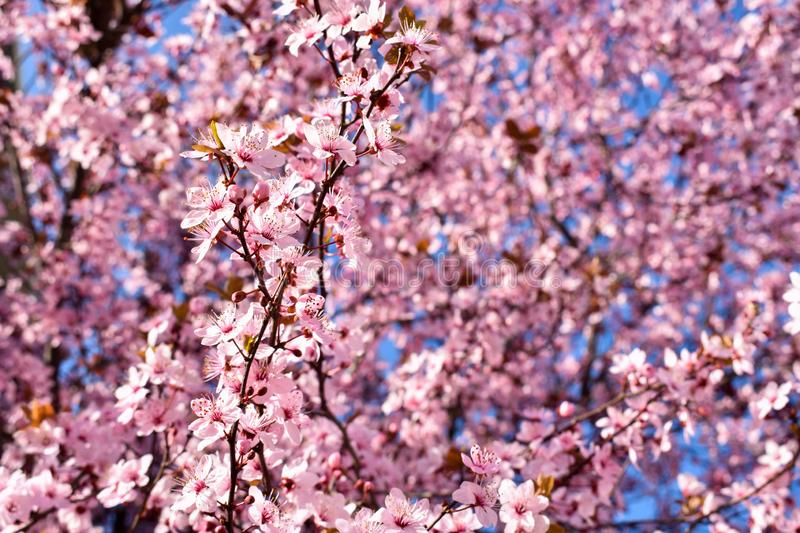 Cherry, Prunus cerasus blossom with pink flowers and some red leaves, Prunus Cerasifera Pissardii tree on a blue sky background in stock photo