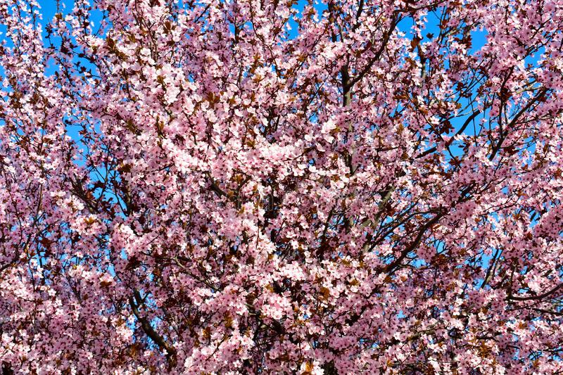 Cherry, Prunus cerasus blossom with pink flowers and some red leaves, Prunus Cerasifera Pissardii tree on a blue sky background in stock photos