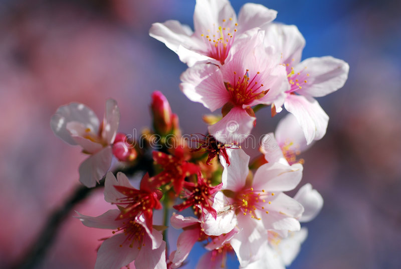 cherry różowe kwiaty, fotografia stock