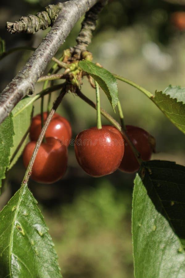 Cherry red on the three stock photos