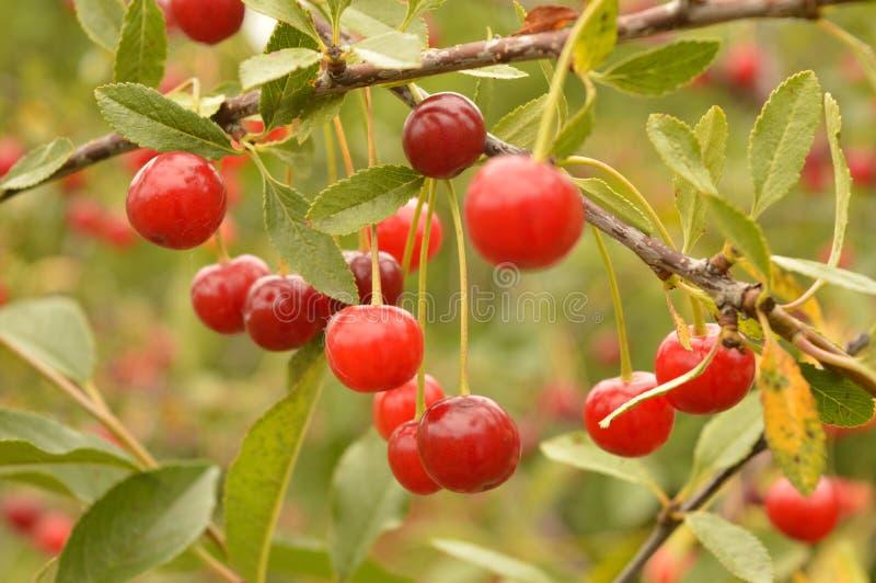 Cherry ripe stock photography