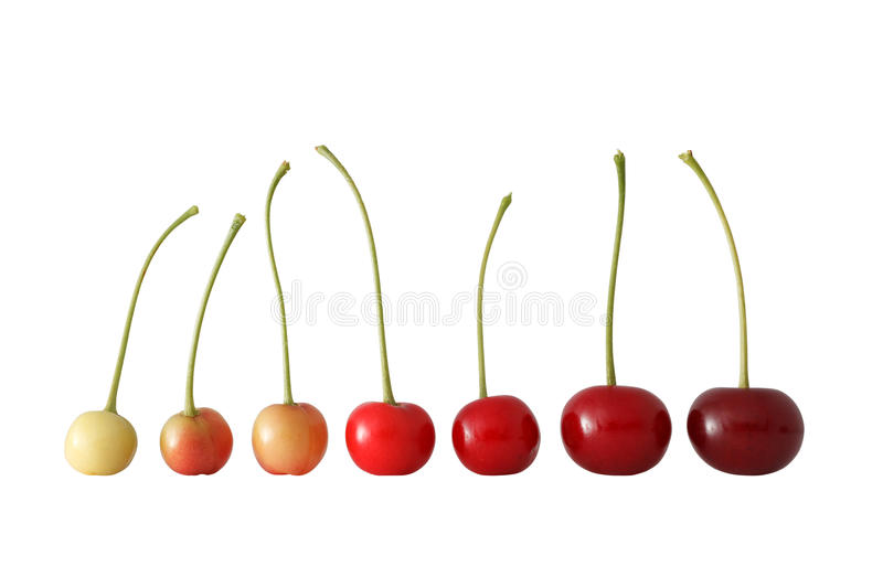 Cherry Ripening Succession. royalty free stock photo