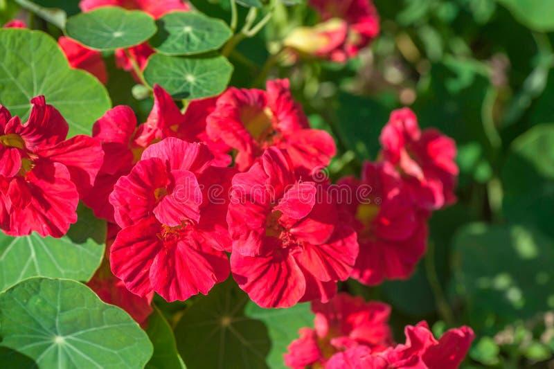 Cherry –rose colored Nasturtium `Jewel Cherry Rose` - Tropaeolum majus. July, Russia royalty free stock photo