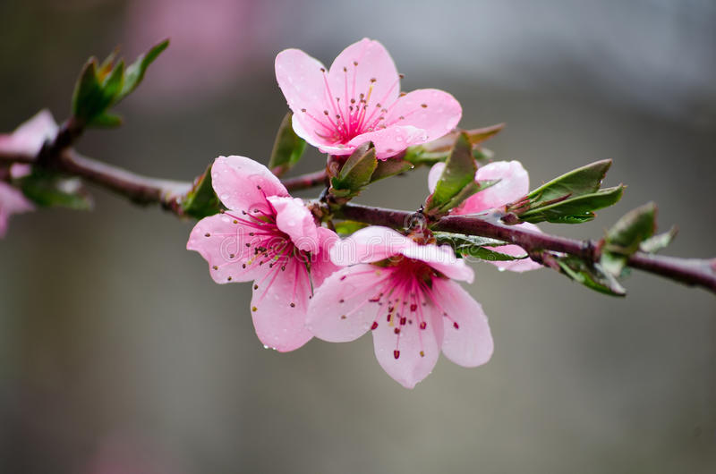 Cherry sakura blossoms on a nature background in the rain. Pink flowers. Spring pink flowers. Flowers from the garden. stock images