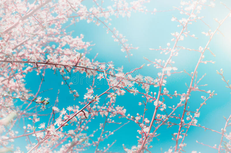 Cherry sakura blossoms over sky background. Spring blossom in garden or park stock photo