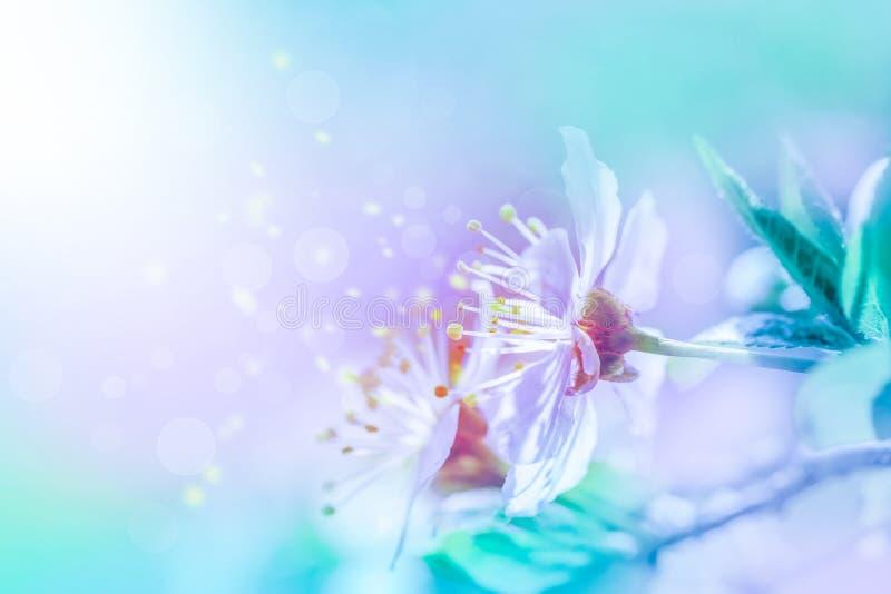 Cherry sakura flowers close-up on soft background royalty free stock photo