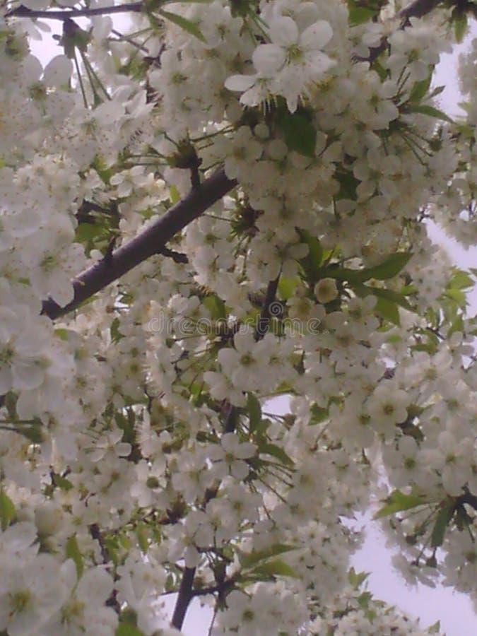 Cherry Spring Beautiful ????? ????? ????? foto de archivo