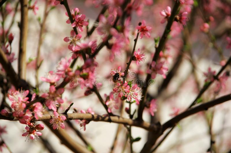 Peach in the spring and bees that work well stock photo