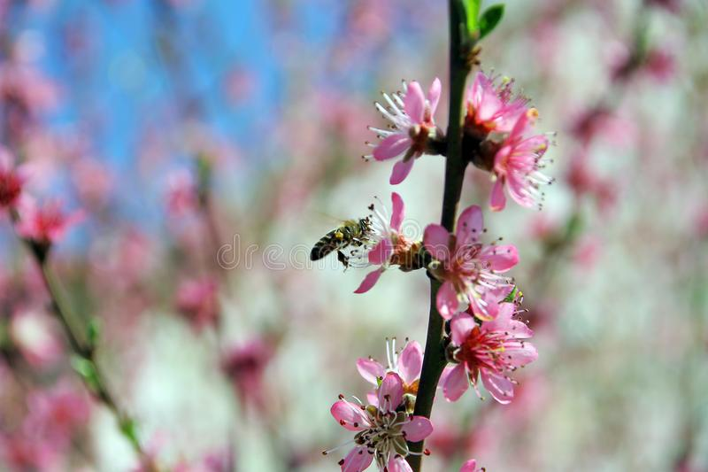 Peach in the spring and bees that work well stock photography