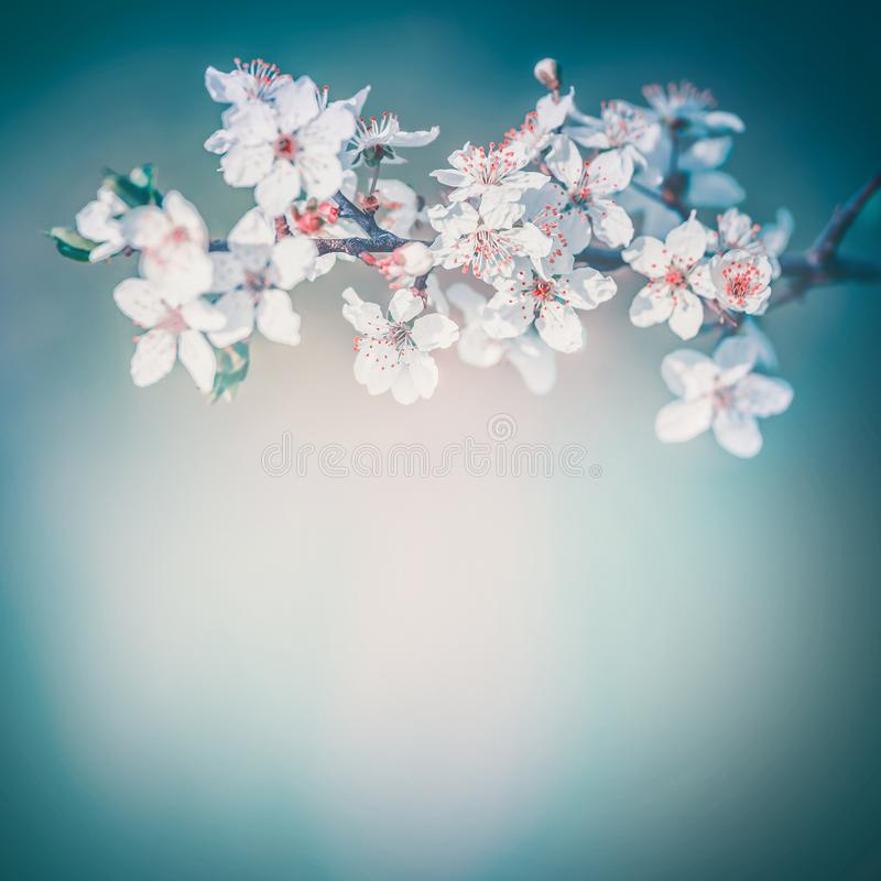 Cherry spring blossom background, white flowers bloom at turquoise blur nature. Blossoming of flowers on trees royalty free stock photography