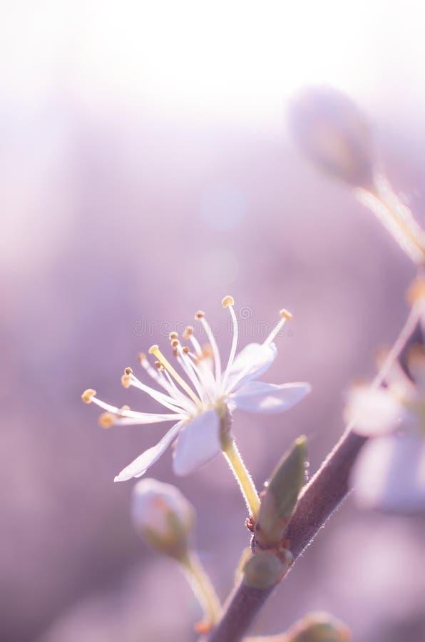 Cherry spring flower stock photo