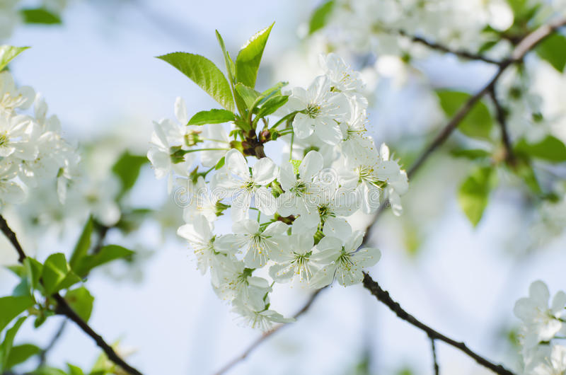 Download Cherry Spring Flowers Stock Photo - Image: 83719561