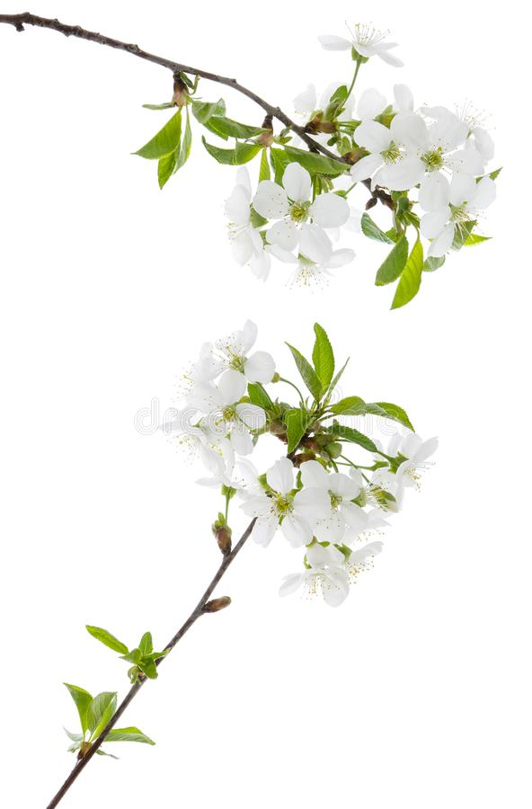 Cherry spring flowers with green leaves on tree branch isolated on white background royalty free stock photography