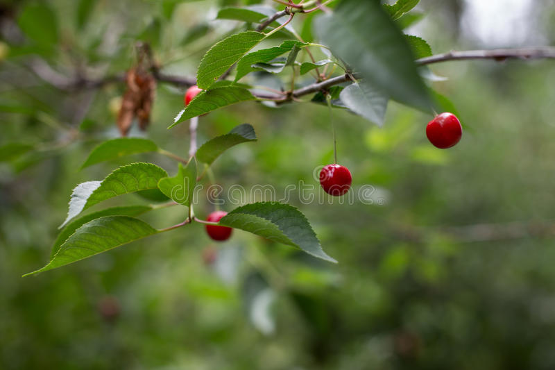 Cherry. Three juicy cherries hanging ripe cherries on the tree the most delicious in the world berry stock photos