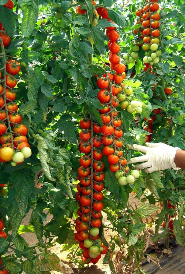 Free Cherry Tomato Royalty Free Stock Image - 10249066