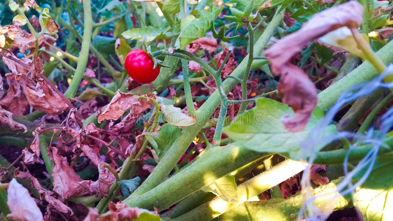 Cherry Tomato immagine stock