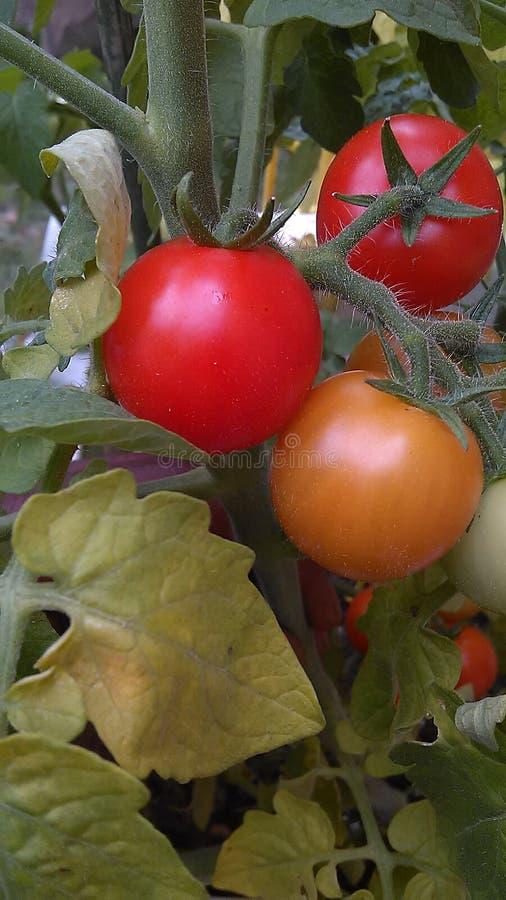 Cherry Tomato amarillo y rojo imagenes de archivo