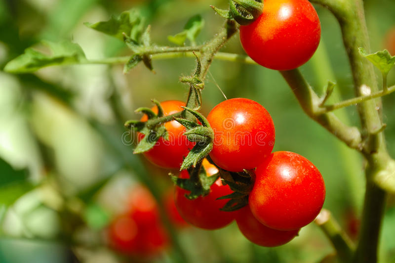 Cherry Tomato On Bed Royalty Free Stock Photography