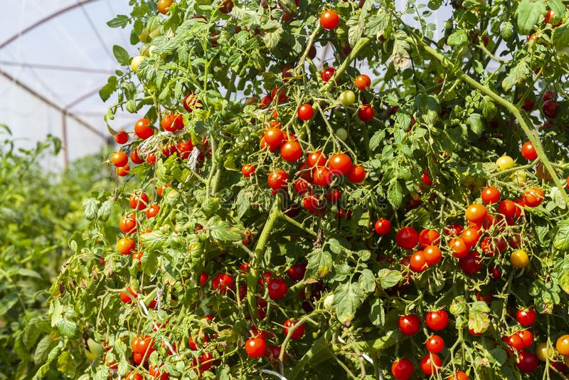Cherry Tomato Plant fotos de stock