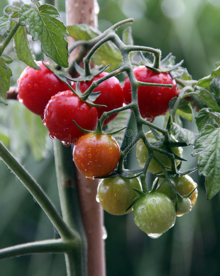 Cherry tomato plant and fruit. Fresh cherry tomato fruit on the plant in the container garden royalty free stock photo