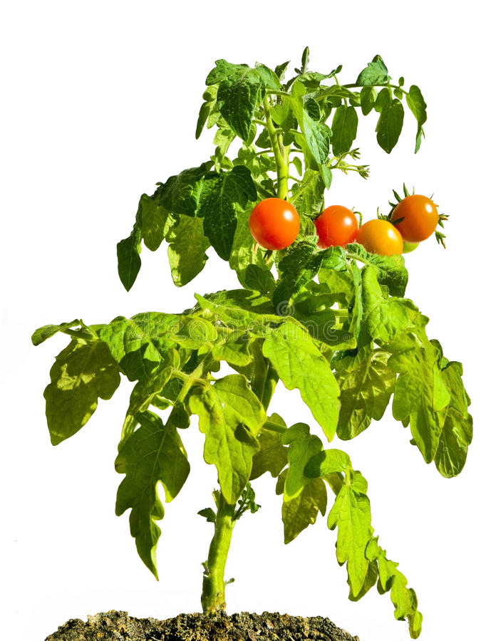 Cherry Tomato Plant. In soil, isolated on white stock photo
